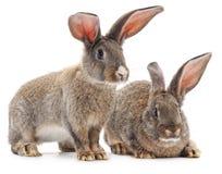 两只棕色兔子 库存照片