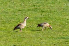 两只棕色野鸭鹅红色蜗牛桔子注视 库存图片
