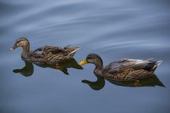 两只棕色鸭子在镇静湖 库存图片