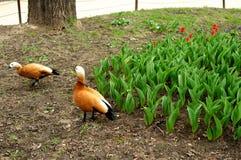 两只棕色鸭子 免版税库存照片
