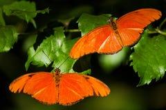 两只橙色蝴蝶在蝴蝶房子里 库存图片