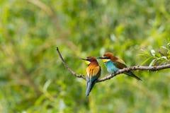 两只欧洲食蜂鸟鸟食蜂鸟属apiaster坐麸皮 免版税库存图片