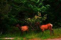 两只母牛麋 免版税图库摄影