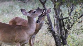 两只母白尾鹿 免版税库存照片