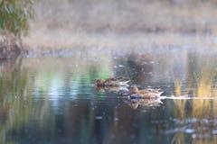 两只母野鸭鸭子在搜寻的湖吃 免版税库存照片