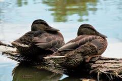 两只母野鸭鸭子 库存图片