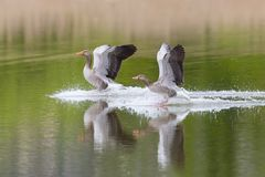 两只水表面上的灰色鹅鸟分析服务公司分析服务公司着陆 免版税库存照片