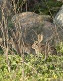 两只沙漠棉尾巴兔子北美洲兔类audubonii在草甸 免版税库存照片