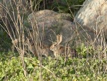 两只沙漠棉尾巴兔子北美洲兔类audubonii在草甸 免版税图库摄影