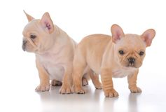 两只法国牛头犬小狗 免版税图库摄影