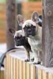 两只法国牛头犬小狗 库存照片
