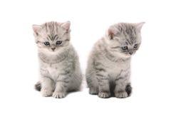 两只浅灰色的相似的小猫 免版税库存图片
