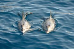 两只海豚在海 库存图片