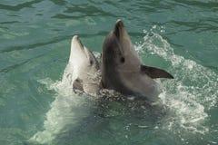 两只海豚在海 免版税库存图片