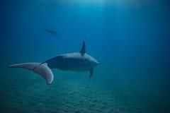 两只海豚水下在蓝色 免版税图库摄影