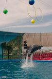 两只海豚跳跃 库存图片
