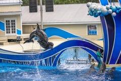 两只海豚跳跃 图库摄影