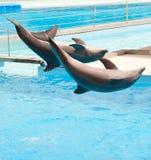 两只海豚 免版税库存照片