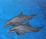 两只海豚 图库摄影