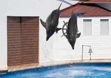 两只海豚Afalina翻转 免版税库存照片