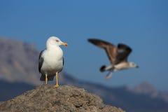 两只海鸥。 库存图片