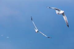 两只海鸥一起飞行 免版税库存图片