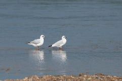 两只海鸥休息 图库摄影