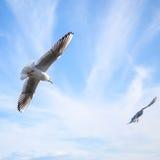 两只海鸥在蓝色多云天空飞行 库存照片