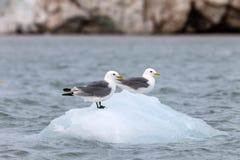 两只海鸥坐流冰浮冰 免版税库存图片