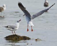 两只海鸥战斗 免版税图库摄影