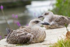 两只海鸥特写镜头  免版税库存图片