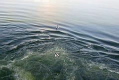两只海鸥飞行在水 免版税库存图片