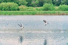 两只海鸥飞行在湖 库存图片