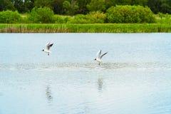 两只海鸥飞行在湖 图库摄影