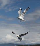 两只海鸥 库存照片