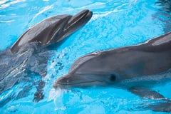 两只游泳的海豚 免版税图库摄影