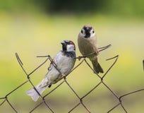 两只滑稽的鸟麻雀坐滤网篱芭在夏天  免版税库存照片