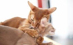 两只滑稽红色猫使用 免版税图库摄影