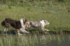 两只澳大利亚牧羊犬奔跑 免版税库存照片