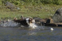 两只澳大利亚牧羊犬奔跑 图库摄影