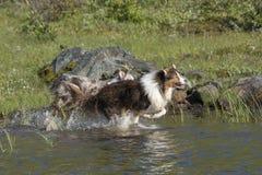 两只澳大利亚牧羊犬奔跑 免版税图库摄影