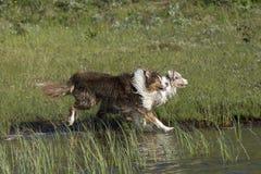 两只澳大利亚牧羊犬奔跑 免版税库存图片