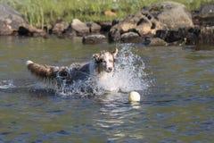 两只澳大利亚牧羊犬奔跑 库存图片