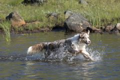 两只澳大利亚牧羊犬奔跑 库存照片