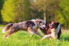 两只澳大利亚牧羊犬战斗 库存照片