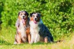 两只澳大利亚牧羊犬画象  免版税图库摄影