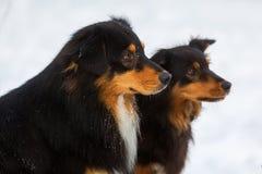 两只澳大利亚牧羊犬画象在雪的 免版税库存照片