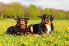 两只澳大利亚牧羊犬画象  免版税库存照片