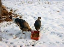 两只火鸡 库存图片