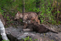 两只灰狼(天狼犬座)小狗看得左 免版税图库摄影